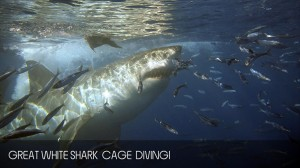 full_day_shark_diving_tour_04
