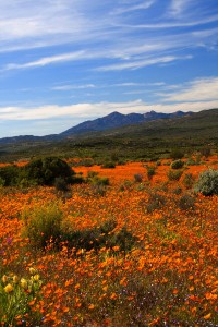 Where to See Wildflowers in Cape Town