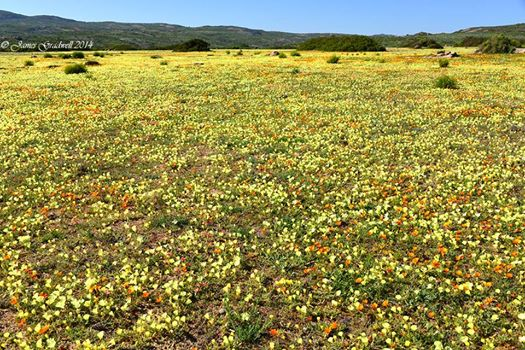 A field of flowers on route to Namaqua National Park taken last week.