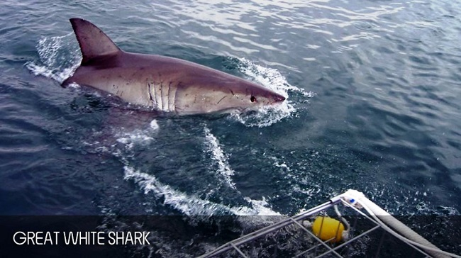 Dreaming About Shark Cage Diving in Cape Town This Winter?