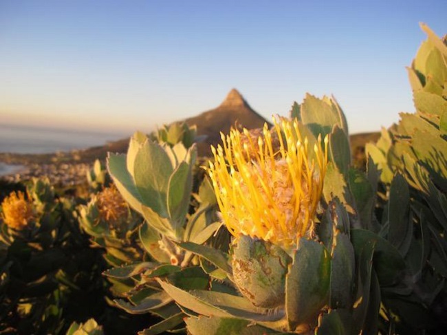 Table Mountain Flora