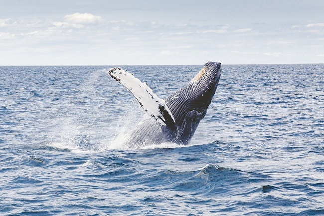 Humpback Whales in Cape Town